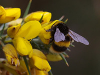 Bumble bee on the gorse